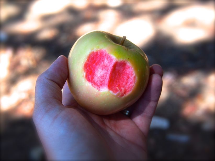 pink pearl apples are like fruit from another world photos