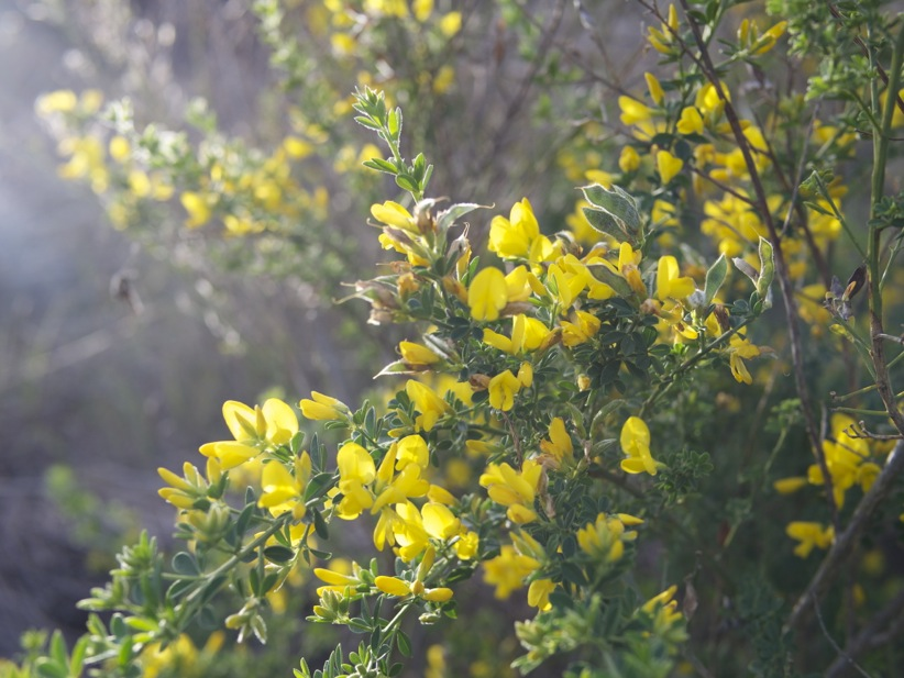 Whats blooming bay area winelandia this pretty yellow flowered plant above is known as broom its non native and invasive in california but covers our hillsides with beautiful yellow mightylinksfo