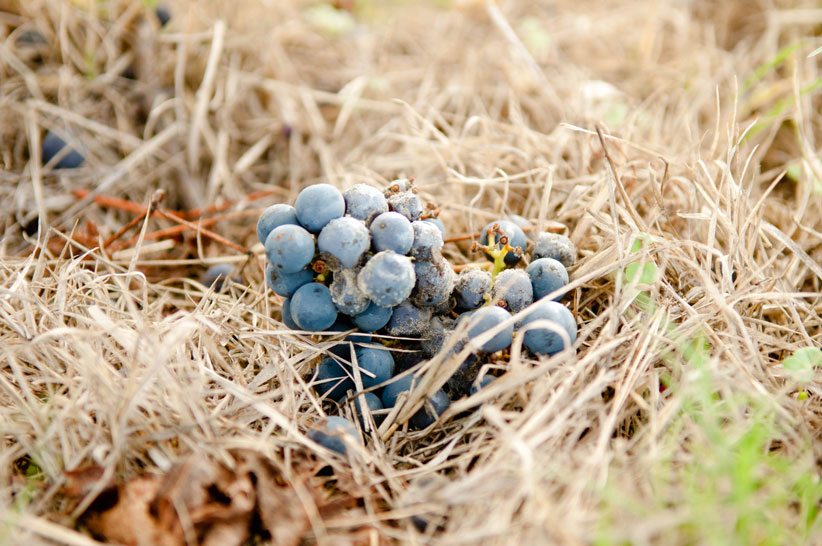 botrytis_grapes_web